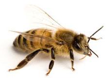 апитерапия и пчеловодство