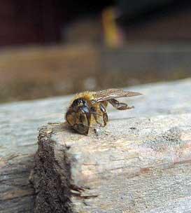 мёртвая пчела